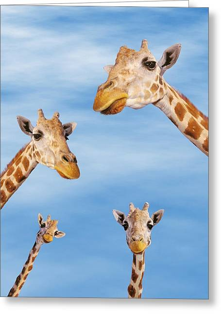 Four Animal Faces Greeting Cards - Four Giraffes Greeting Card by Thomas Kitchin Victoria Hurst