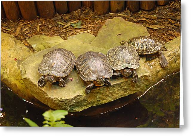 Greens Greeting Cards - Four Turtles Greeting Card by Aimee L Maher Photography and Art