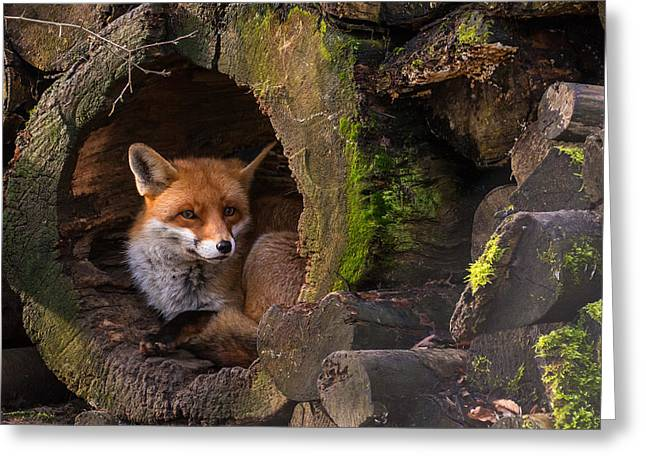 Fox Greeting Card by Cees Van Ginkel