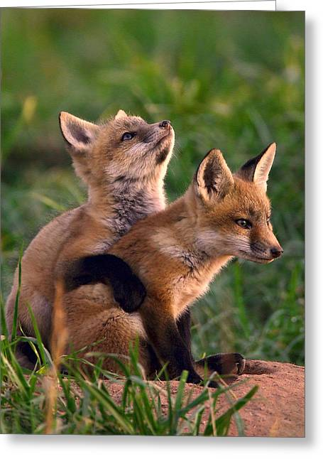 Red Foxes Greeting Cards - Fox Cub Buddies Greeting Card by William Jobes