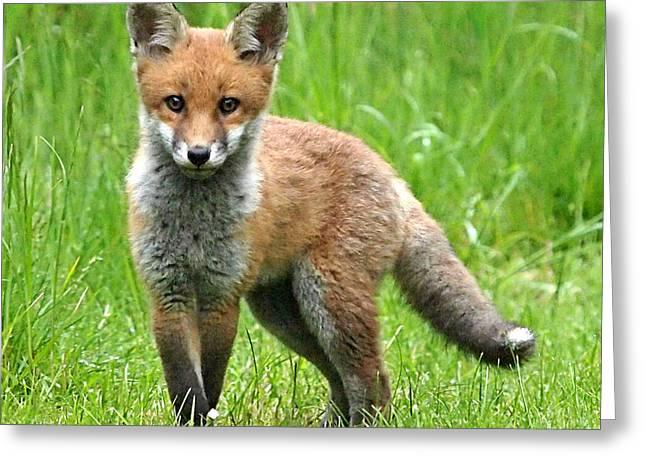 Hiding Greeting Cards - Fox Cub Watching You Greeting Card by Gill Billington