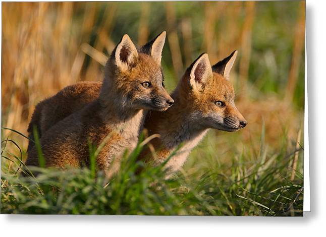Fox Cubs Greeting Cards - Fox Cubs at Sunrise Greeting Card by William Jobes
