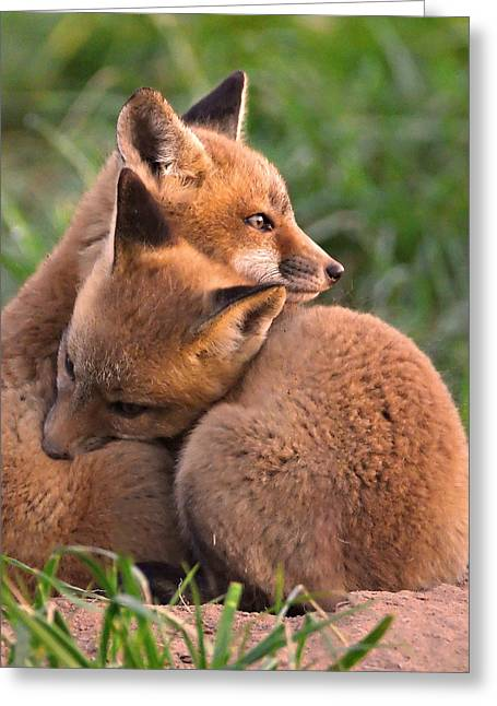 Best Friend Photographs Greeting Cards - Fox Cubs Cuddle Greeting Card by William Jobes