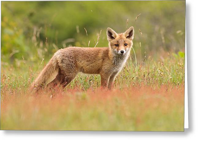 Suckling Greeting Cards - Fox Kit in a Field of Sorrel Greeting Card by Roeselien Raimond