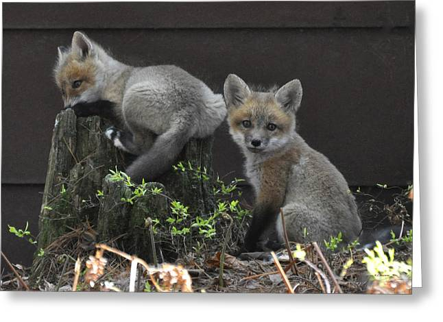 Rj Martens Greeting Cards - Fox Kit Siblings Greeting Card by RJ Martens