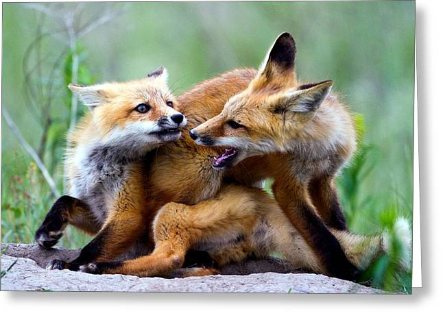 Fort Missoula Greeting Cards - Fox kits at play - an exercise in dominance Greeting Card by Merle Ann Loman