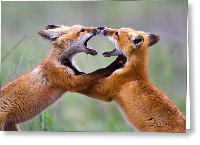 Fort Missoula Greeting Cards - Fox kits Greeting Card by Merle Ann Loman