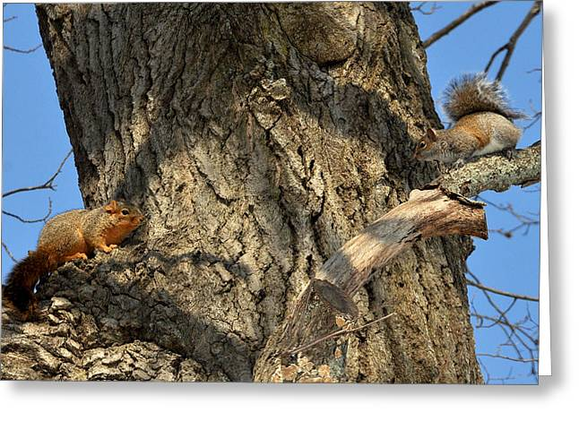 Fox Squirrel Greeting Cards - Fox meets Red Greeting Card by David McDowell