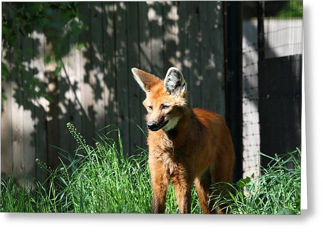 Dc Greeting Cards - Fox - National Zoo - 01132 Greeting Card by DC Photographer