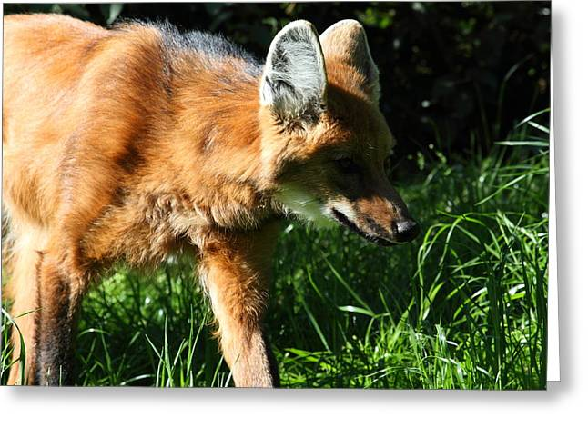 Fox - National Zoo - 01135 Greeting Card by DC Photographer