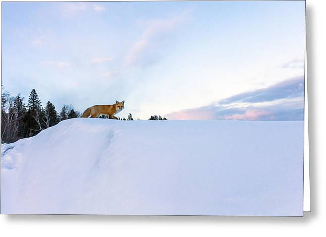 Princes Greeting Cards - Fox of the North III Greeting Card by Mary Amerman