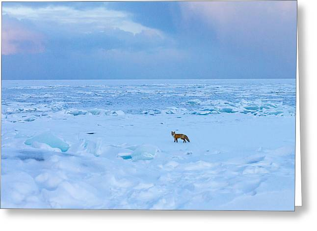 Fox Of The North Country Iv Greeting Card by Mary Amerman