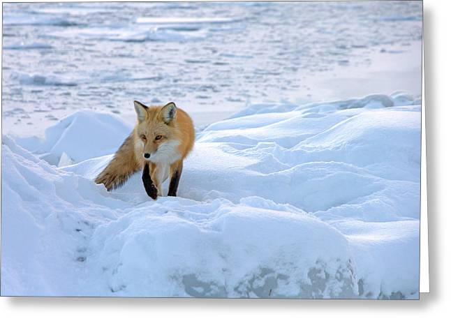 Snow-coated Greeting Cards - Fox of the North II Greeting Card by Mary Amerman