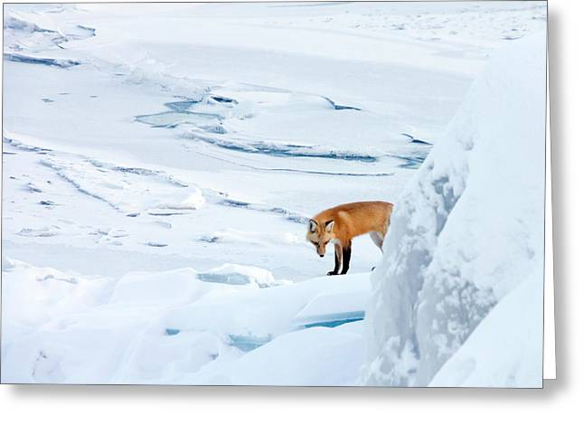 Snow-coated Greeting Cards - Fox of the North V Greeting Card by Mary Amerman