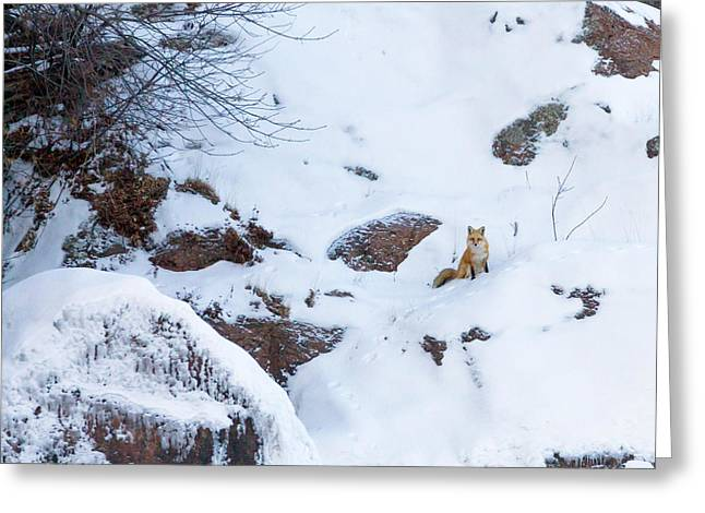 Snow-coated Greeting Cards - Fox of the North VI Greeting Card by Mary Amerman