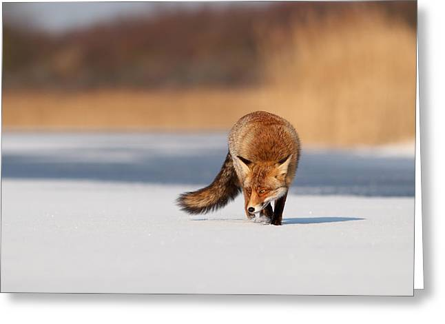 Vulpes Greeting Cards - Fox on Ice Greeting Card by Roeselien Raimond