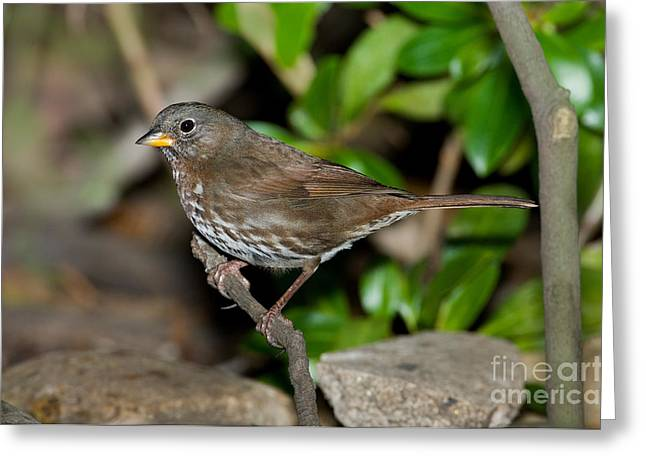 Sparrow Greeting Cards - Fox Sparrow Greeting Card by Anthony Mercieca