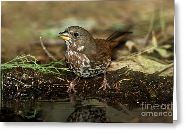 Sparrow Greeting Cards - Fox Sparrow Drinking Greeting Card by Anthony Mercieca