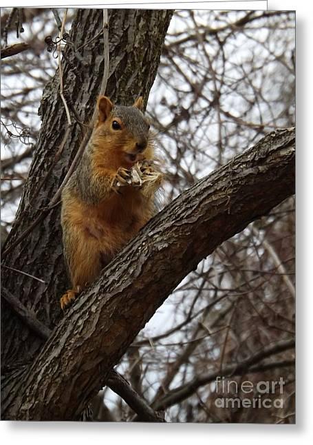 Fox Squirrel Greeting Cards - Fox Squirrel 1 Greeting Card by Sara  Raber