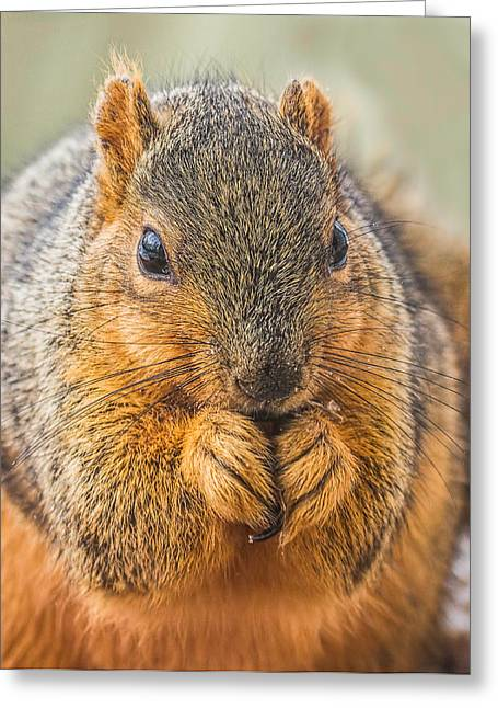 Fox Squirrel Greeting Cards - Fox Squirrel Greeting Card by Andrew Lawlor