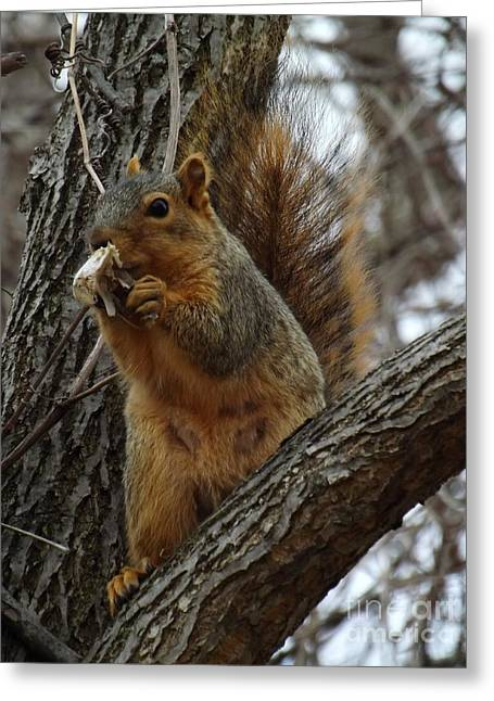 Fox Squirrel Greeting Cards - Fox Squirrel eating breakfast Greeting Card by Sara  Raber