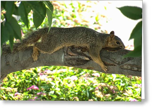 Fox Squirrel Greeting Cards - Fox Squirrel Greeting Card by Emily  Froese
