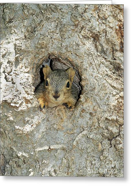 Sciurus Niger Greeting Cards - Fox Squirrel Greeting Card by Gregory G. Dimijian
