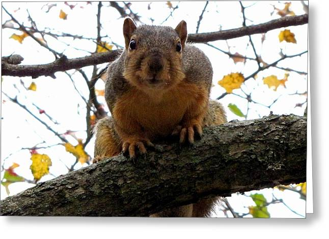 Fox Squirrel Greeting Cards - Fox Squirrel in Ohio Greeting Card by Robin McLeod
