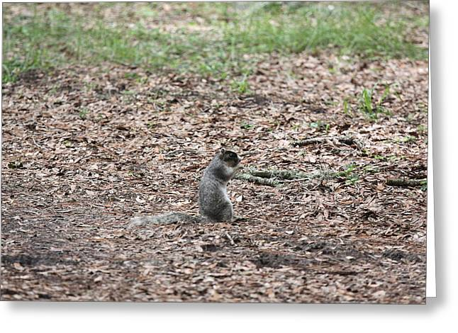 Fox Squirrel Greeting Cards - Fox Squirrel Greeting Card by Jean Macaluso