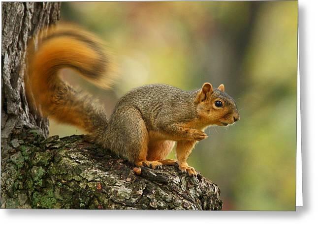 Fox Squirrel Greeting Cards - Fox squirrel Greeting Card by Timothy O