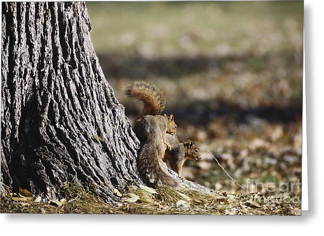 Eastern Fox Squirrel Greeting Cards - Fox Squirrels Mating Greeting Card by William H. Mullins