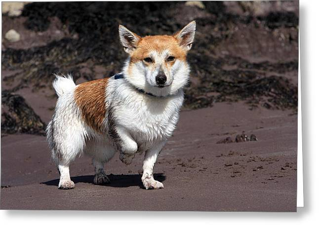 Dog In Landscape Greeting Cards - Parson Russell Terrier At The Beach Greeting Card by Aidan Moran