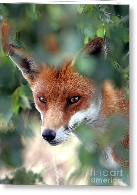 Red Foxes Greeting Cards - Fox through trees Greeting Card by Tim Gainey