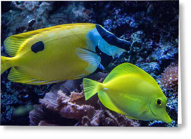 Tennessee Aquarium Greeting Cards - Foxface Rabbitfish 2 Greeting Card by Douglas Barnett
