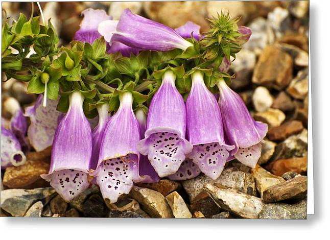 Foxglove Flowers Greeting Cards - Foxglove (Digitalis purpurea) Greeting Card by Science Photo Library