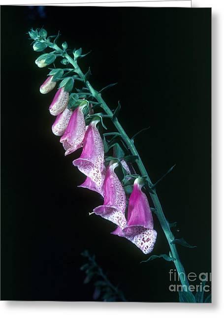 Ornamental Plants Greeting Cards - Foxglove Digitalis Purpurea Greeting Card by Tierbild Okapia