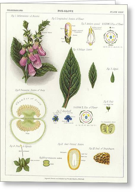 Engraving Greeting Cards - Foxglove Greeting Card by English School