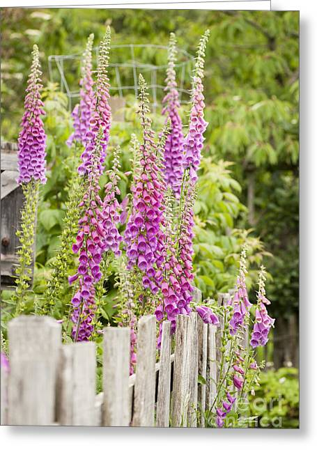 Foxglove Flowers Greeting Cards - Foxglove Fence Greeting Card by Anne Gilbert