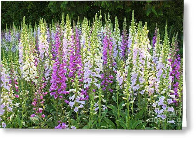 Foxglove Garden In Golden Gate Park Greeting Card by Carol Groenen
