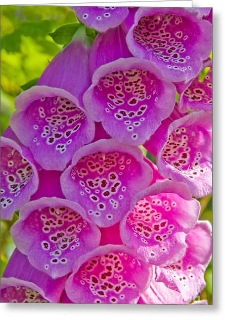Foxglove Flowers Greeting Cards - Foxglove Greeting Card by Richard and Ellen Thane