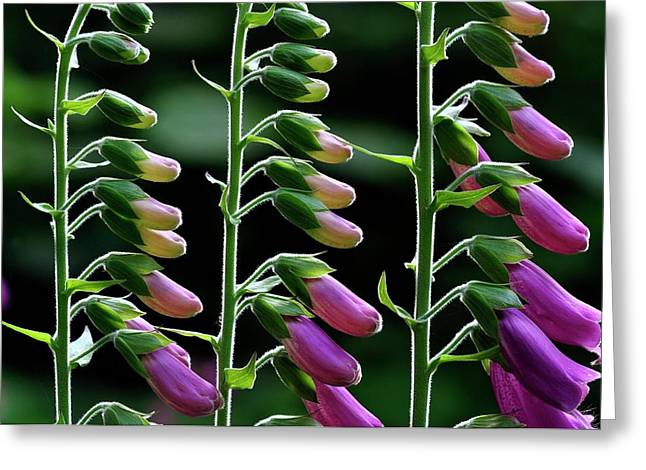Foxgloves (digitalis Purpurea) In Flower Greeting Card by Colin Varndell