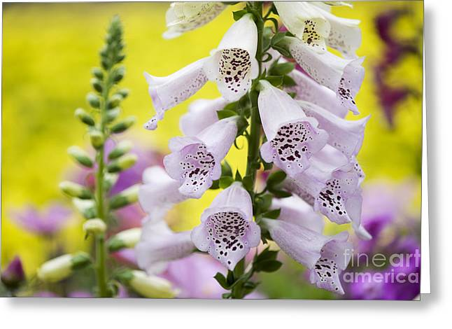 Foxgloves Greeting Card by Tim Gainey