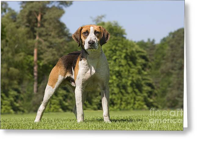 Foxhound Greeting Cards - Foxhound Dog Greeting Card by Jean-Michel Labat