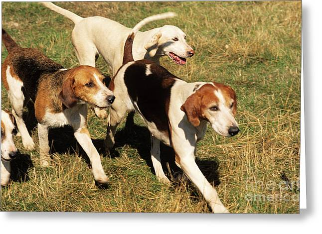 Blood Hound Greeting Cards - Foxhounds Greeting Card by James Marchington