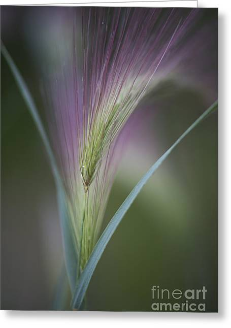 Filigree Greeting Cards - Foxtail Barley Greeting Card by Priska Wettstein