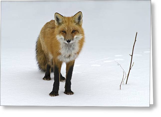 Festblues Greeting Cards - Foxy.. Greeting Card by Nina Stavlund