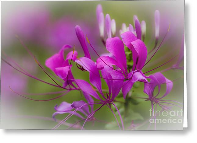 Cleome Flower Greeting Cards - Fragile Tropical Flower  Greeting Card by Heiko Koehrer-Wagner