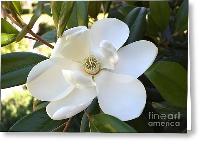 Magnolia Grandiflora Greeting Cards - Fragrant Magnolia Greeting Card by Carol Groenen