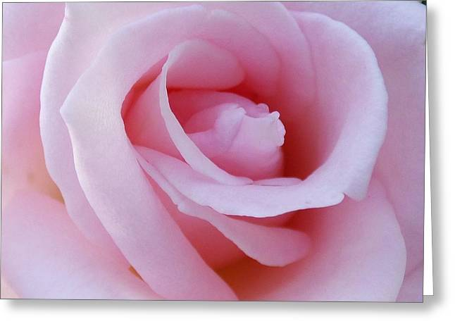 Francis Greeting Cards - Francis Meilland Hybrid Tea Rose Greeting Card by Jean Doepkens Wright