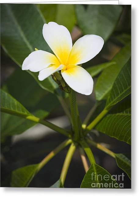Flowers Miami Greeting Cards - Frangipani Flower Greeting Card by Juan  Silva
